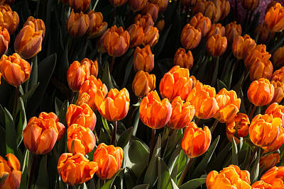 Flame Colored Tulips - Enjoying The Beauty Of Spring Poster by Georgia Mizuleva