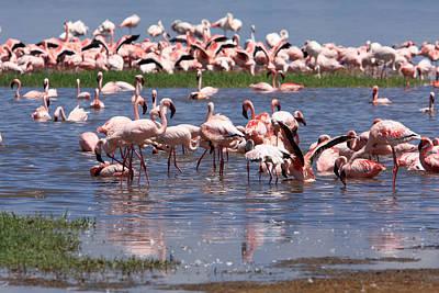Flamingos, Lake Nakuru, Kenya Poster by Aidan Moran