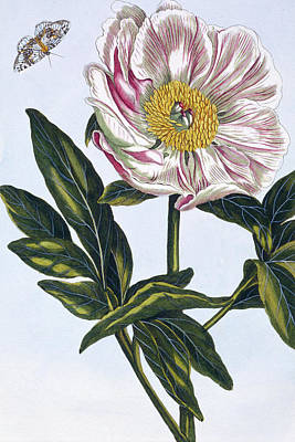 Flesh Colored Common Peony Poster by Pierre-Joseph Buchoz