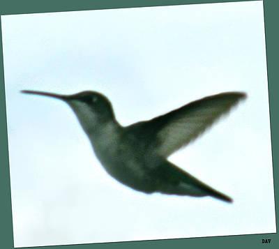 Flight Of The Hummingbird Poster by Debra     Vatalaro