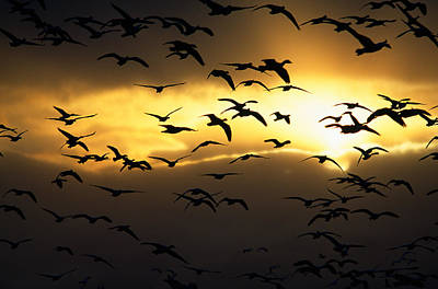 Flock Of Silhouetted Snow Geese Poster by Panoramic Images