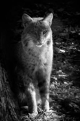 Florida Everglades Bobcat Poster by Mark Andrew Thomas