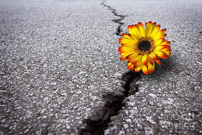Flower In Asphalt Poster by Carlos Caetano