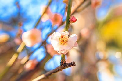 Flower Of Plum Poster by Hyuntae Kim