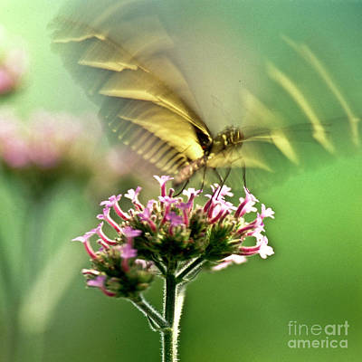 Fluttering Butterfly Poster by Heiko Koehrer-Wagner