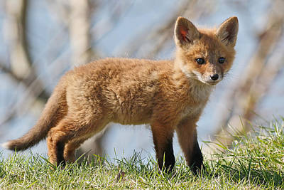 Fox Cub Poster by Jim Nelson