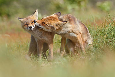 Foxy Love Series - But Mo-om II Poster by Roeselien Raimond