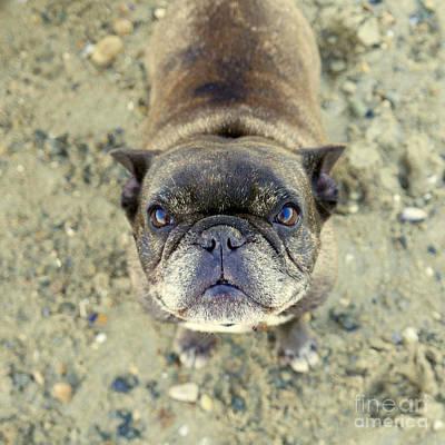 French Bulldog, Dog Portraits, Poster by Jane Maurer