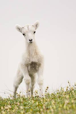 Frisky Lamb Poster by Tim Grams