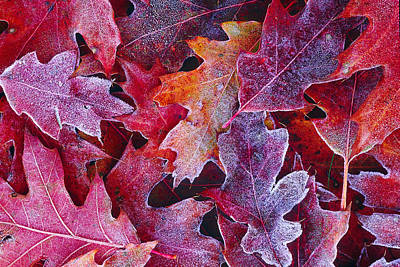 Frosted Red Oak Leaves Poster by Tony Beck
