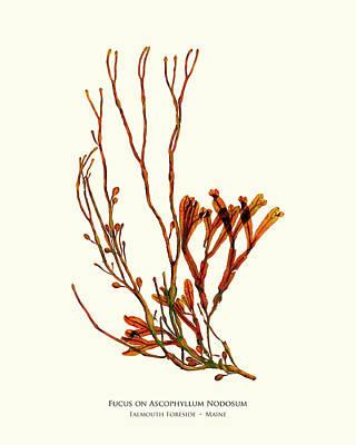 Fucus On Ascophyllum Nodosum Poster by John Ewen