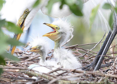 Fun Baby Egrets With Mom Poster by Carol Groenen