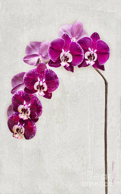 Fuschia Orchid Standing Tall - 22.5 X 36 Poster by Barbara McMahon