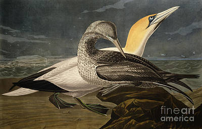 Gannets Poster by John James Audubon