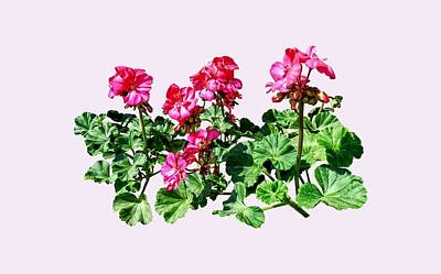 Geraniums In A Row Poster by Susan Savad