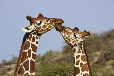 Giraffe Kisses Poster by Michele Burgess