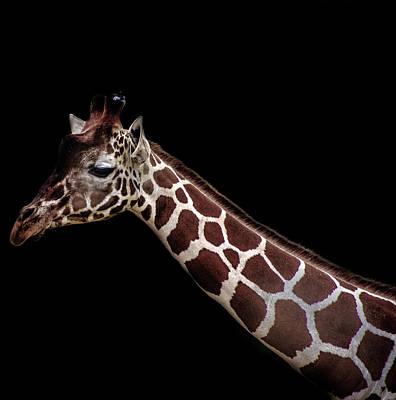 Giraffe Poster by Martin Newman