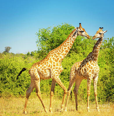 Giraffes In Africa Poster by Tim Hester