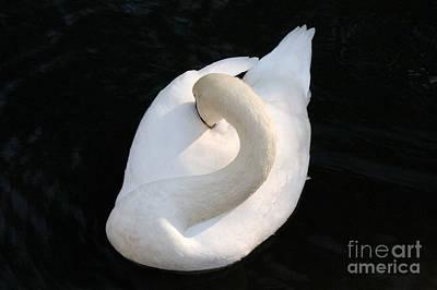 Gliding Swan Poster by Julia Hiebaum