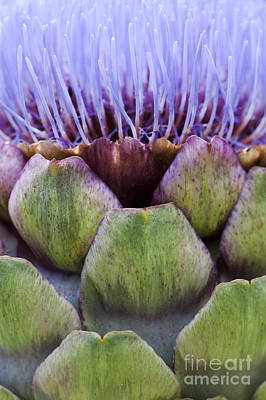 Globe Artichoke Poster by Tim Gainey