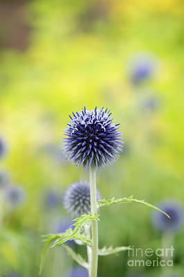 Globe Thistle Flowering Poster by Tim Gainey