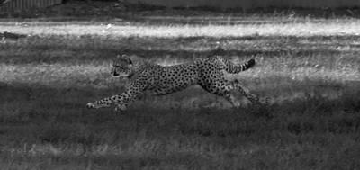 Go Cheetah Go Poster by Miroslava Jurcik