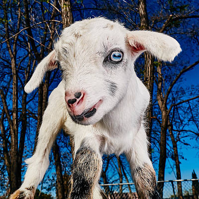 Goat High Fashion Runway Poster by TC Morgan