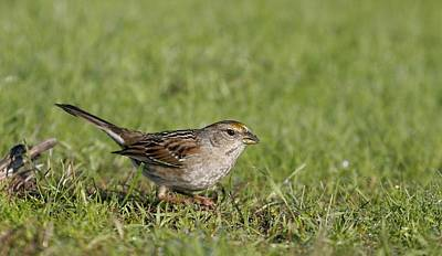 Golden-crowned Sparrow Poster by Andrew Johnson