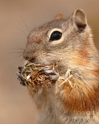 Golden-mantled Ground Squirrel Nibbling On A Bite Poster by Max Allen
