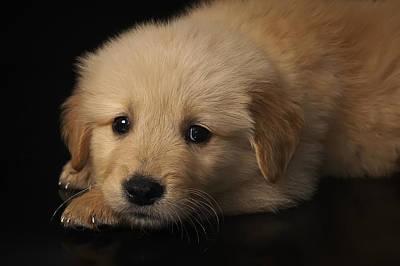 Golden Puppy Poster by Hernan Bua