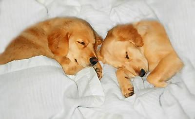 Golden Retriever Dog Puppies Sleeping Poster by Jennie Marie Schell