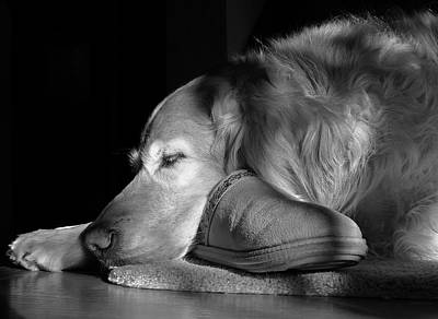 Golden Retriever Dog With Master's Slipper Black And White Poster by Jennie Marie Schell