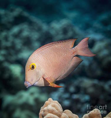 Goldring Surgeonfish  Ctenochaetus Poster by Thomas Kline