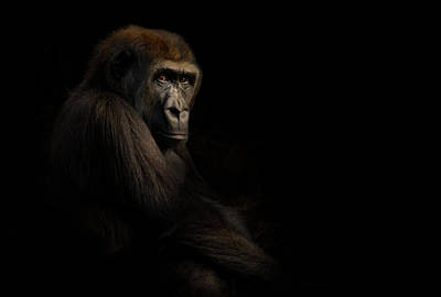 Gorilla Poster by Animus Photography