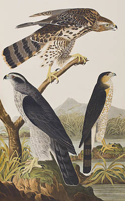 Goshawk And Stanley Hawk Poster by John James Audubon