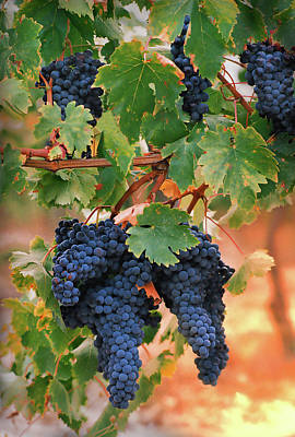 Grapes Of Tuscany Poster by Dallas Clites
