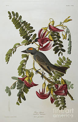 Gray Tyrant Poster by John James Audubon
