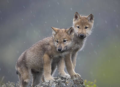 Gray Wolf Canis Lupus Pups In Light Poster by Tim Fitzharris