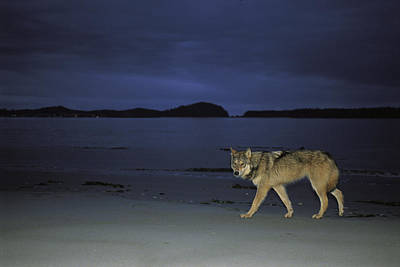 Gray Wolf On Beach At Twilight Poster by Joel Sartore