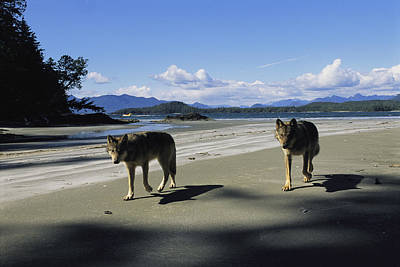 Gray Wolves On Beach Poster by Joel Sartore