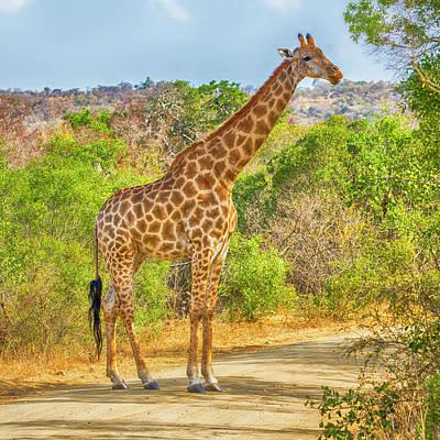 Grazing Giraffe Poster by Stephen Stookey