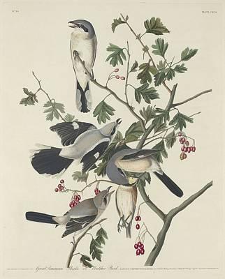 Great American Shrike Or Butcher Bird Poster by John James Audubon