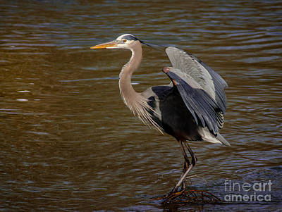 Great Blue Heron - Flooded Creek Poster by Robert Frederick