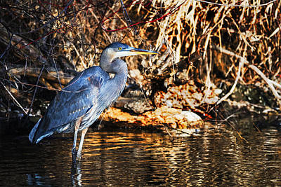 Great Blue Heron In Nature Poster by Vishwanath Bhat