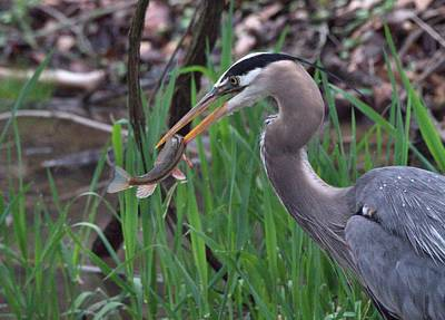Great Blue Heron With His Catch Poster by Dan Sproul
