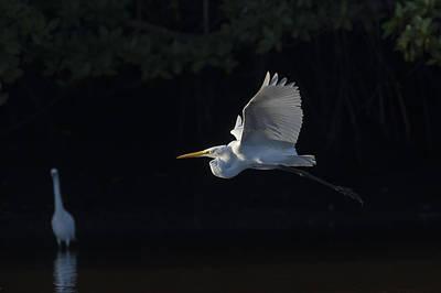 Great Egret In Morning Flight Poster by David Watkins