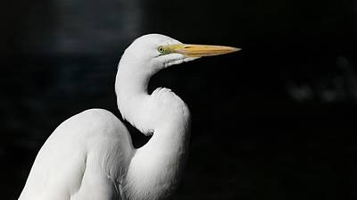 Great Egret Portrait Poster by Andrew Johnson
