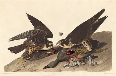 Great Footed Hawk Poster by John James Audubon