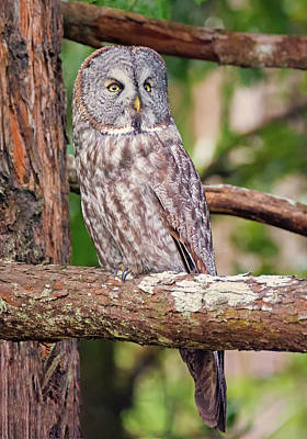 Great Gray Owl On Alert Poster by Loree Johnson