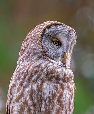Great Gray Owl Portrait Poster by Loree Johnson
